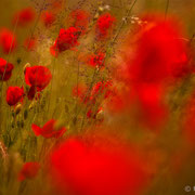 "Title: ""Poppy blossoms 01"", june 2014 (printed on ""fine art baryta"")"