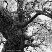 """Title: """"Wild oak tree 01, b&w"""", may 2015 (printed on """"bamboo"""")"""