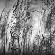 "Title: ""Poetic grasses 01, b&w"", may 2014 (printed on ""bamboo"")"