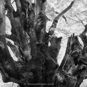 "Title: ""Ancient beech tree 01, b&w"", june 2012 (printed on ""bamboo"")"