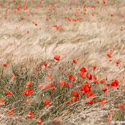 "Poppy blossoms in the field 01, june 2013 (printed on ""fine art baryta"")"