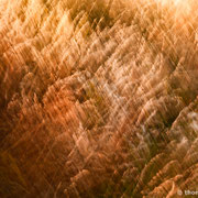 "Grasses swaying in the wind 03, july 2013 (printed on ""fine art baryta"")"