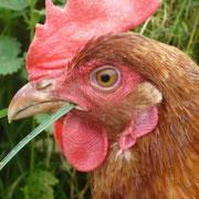 Glückliche Hühner von Marleen Staab.