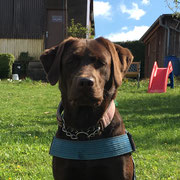Labradorzucht von Adelbar - El marrón Hedda vom Ilmtal