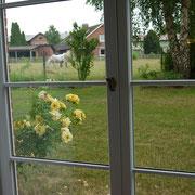 Rosen und ein Gastpferd vor dem Fenster