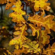Herbstliches Eichenlaub