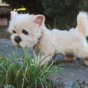 "Norwich-Terrier ""Daffy""(verkauft)"