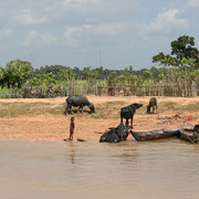 Kampong Thom - Büffel baden im Fluss