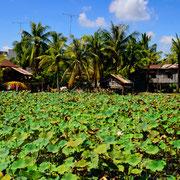 Seerosenfeld in Kampot