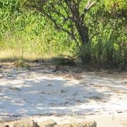 Waranbaby auf Rinca