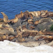 Seehunde im La Jolla Cove