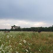 Sommer 2019 - eines unserer Weiden - Heu am Stiel - man sieht die wilde Möhre, die über das Gras hinwegragt