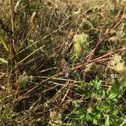 Kleiner Perlmuttfalter - ebenfalls ein wirklich wunderschöner Schmetterling