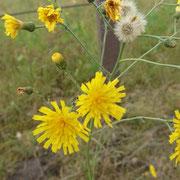 Habichtskraut - Nicht alles was gelb ist, ist auch giftig für Pferde