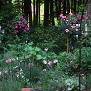 .......und wieder Rosen und Clematis