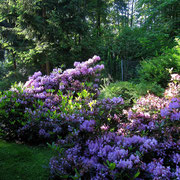 Rhododendron - eine blühende lila Wolke