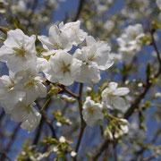 さすがに熊本は暖かく、桜が咲き始めてました