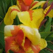 Groβaufnahme einer der extrem hübschen Canna-Blüten