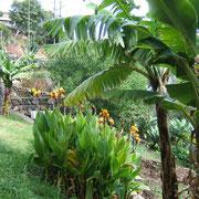Unter anderem gedeihen Bananen auf der Finca. Und die schönen ausgefallenen Canna vermehren sich wie Unkraut
