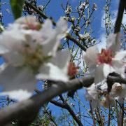 Mandel-Blüten in Nah-Aufnahme. Im Hintergrund ein wunderschöner blauer Himmel über Teneriffa
