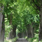 Die längste Linden Allee - das wäre ne tolle Straße für Rüden!!
