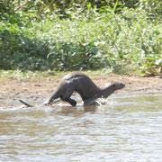 Riesen-Otter