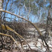 ausgetrockneter Mangrovenwald