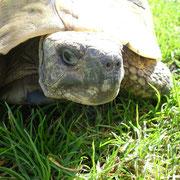 Schildkröte Fridolin