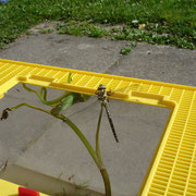 Libellenschlupf beobachten