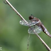 Eine männliche Plattbauch Libelle sonnt sich an einem vertrocknetem Halm