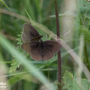 Schmetterling fühlen sich im NABU-Naturgarten sehr wohl. Hier das grosse Ochsenauge.