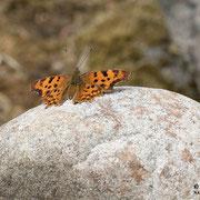 Ein C-Falter sonnt sich auf den Steinen