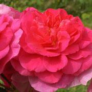 De grandes corolles bien doubles et d'un rose soutenu chez 'Chapi-Chapo'.