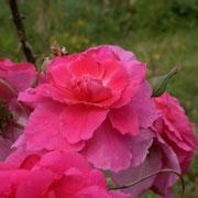 'Chapi-Chapo' : une fin de floraison qui arbore des tons parme.