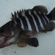 富山湾で珍しいマハタ。初めて釣りました(。-∀-) ニヒ♪