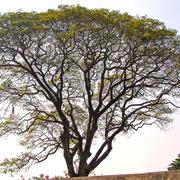Tamarindenbaum in Kerala, Indien. Foto: ©Rita Helmholtz