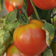 TOM 032 PSR Selma / Alte spanische Sorte mit mild-süßen, dunkelrosa Früchten )bis 100g) Lagerfähig.