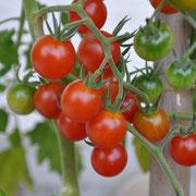 TOM 003 Ribesoides Wildtomate / Die saftigen, recht platzfesten Früchte sind rot, rund, meist über 2 cm gross