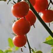 TOM 094 Rote Cherry / Rote, kleine, süsse ertragreiche Cherrytomate