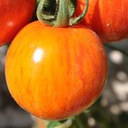 TOM 036 Rote Zebra / Ertrag bis zum Frost. Ausgezeichnetes Tomatenaroma. Robuste Sorte, Stabtomate bis 180 cm. Hoch, rot gelbgestreift, 6 cm, 80 gr. mittlere Reife.