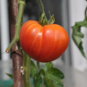 TOM 065 Ruby Gold / Fleischtomate. Gelbrot, gestreift, fruchtig. 200-500 gr. / spät reifend