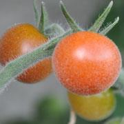 TOM 091 Angora Supersweet / Rote, kleine, zuckersüsse Cherrytomate mit behaarten, leicht silbrigfarbigen Blätter