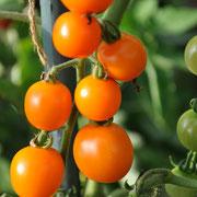 TOM 083 PSR Boliv. Obsttomate / Orange, saftige und süsse Tomate / Ertragreich
