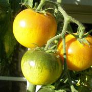 TOM 021 PSR Rosa Grapefruit / Von Landis Valley Museum/USA erhalten. Wahrscheinlich stammt diese Sorte aus dem viktorianischen Zeitalter (1837–1901). Kleine Fleischtomate, Fleisch orange-gelb. Späte Früchte (August/September).
