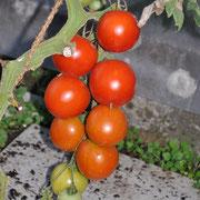 TOM 025 PSR Tante Elsa / Kam 1984 von Spanien nach Grosshöchstetten. Kleine bis mittlere Frucht. Sehr guter Geschmack. Die grünen, im Herbst geernteten Tomaten reifen drinnen nach und lassen sich im  besten Fall bis Weihnachten lagern.