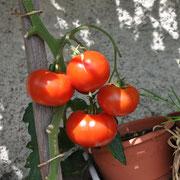 TOM 047 PSR Rouge de Marmande / Sehr alte Sorte, ursprünglich aus Frankreich. Die Tomaten sind 8- bis 10-kammerige, rote Fleischtomaten mit deutlich gekerbtem Kragen. Die ersten Blüten erscheinen Mitte Juni.