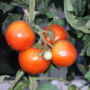 TOM 015 PSR Tomate de Paudex / Kräftige und frühe Sorte. (Anfang August) Ertragreich Grosse, fleischige Tomaten, schmackhaft und etwas säuerlich. Besonders für Freilandanbau. Anf. 20 Jh. Von einem Marktfahrer aus Paudex VD gezüchtet.