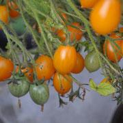 TOM 005 Galapagos-Küstentomate / An den grossen, büschelförmigen Fruchtständen hängen 50 bis 150 rotorange oder gelbe Tomaten, die mild und süss schmecken, sehr platzfest und gut lagerfähig sind
