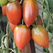 TOM 112 Mauve de Russe / ertragreiche, aus Russland stammende Sorte,kleine schokoladenbraune, pflaumenförmige Früchte, 60 bis 120 gr.
