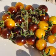 TOM 092 Indigo Gold / gelbgold  Kirschtomaten / zuerst amethyst-lila / dann purpur-golden / mit einem süss-saurem Geschmack